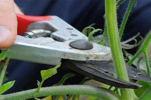 como-cultivar-tomates-desde-esquejes-021